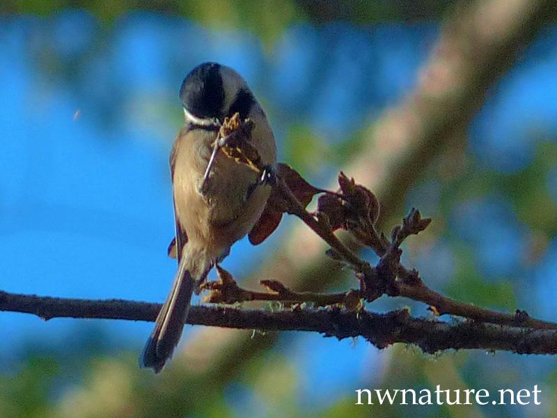 Backyard Birds - nwnature.net