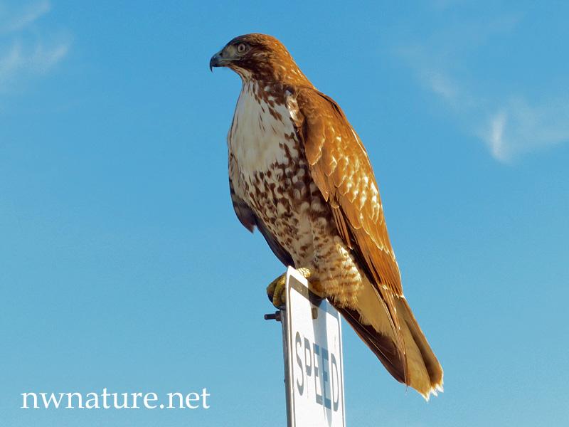 Birds Of Prey Nwnature Net